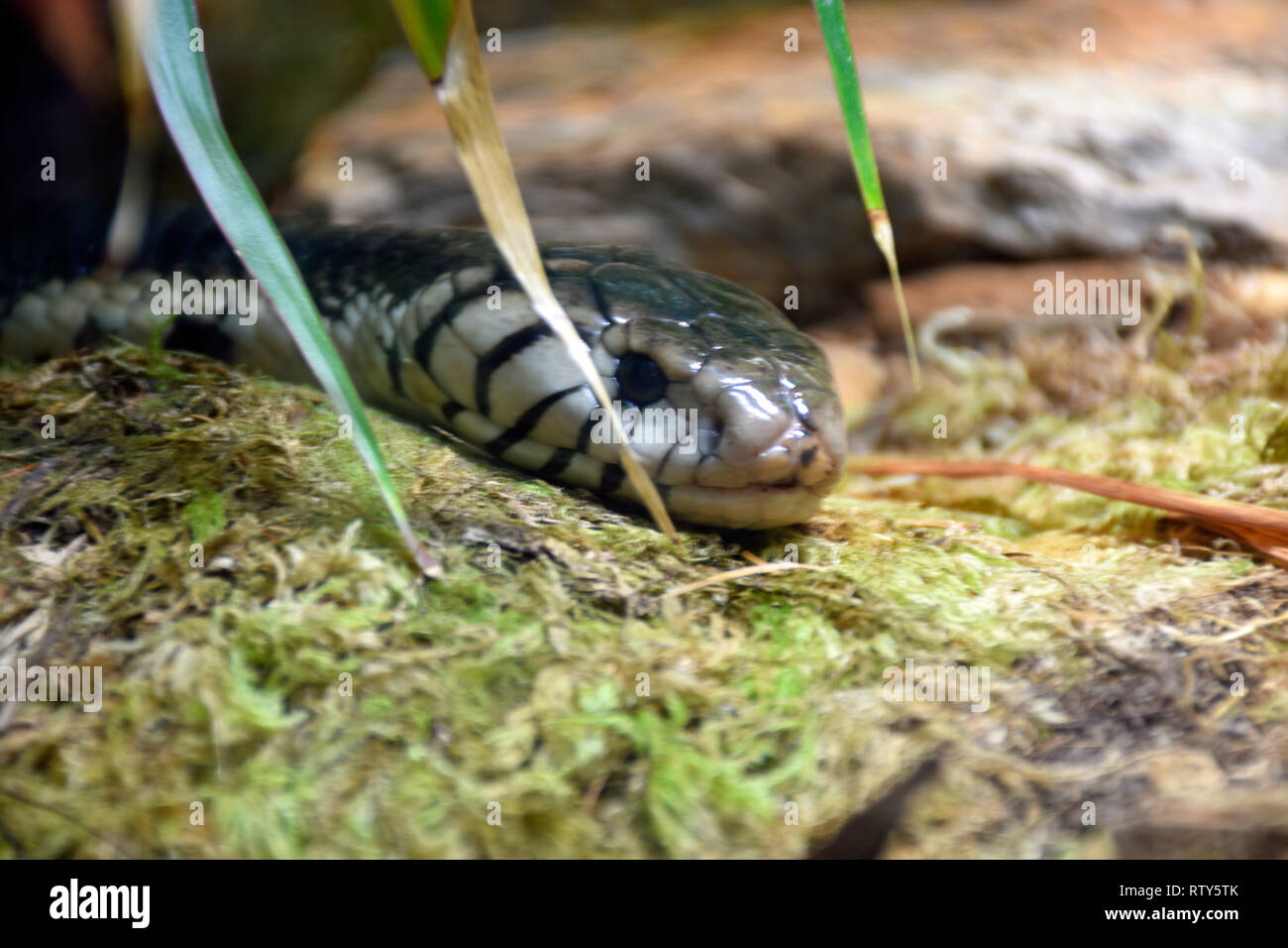 Forest Cobra - Stock Image