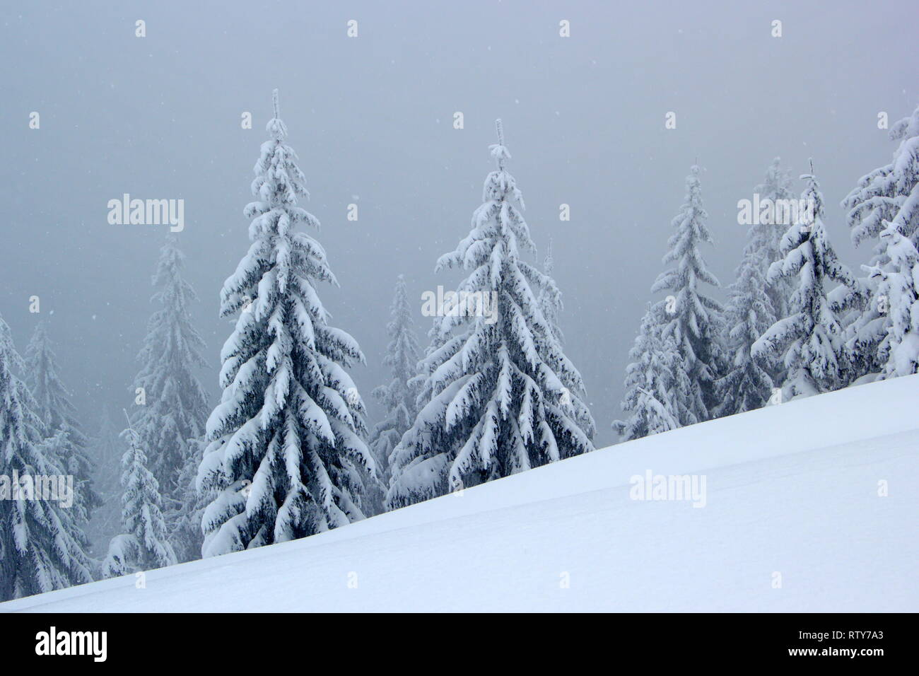 old monumental spruces in windy, misty winter day - Stock Image