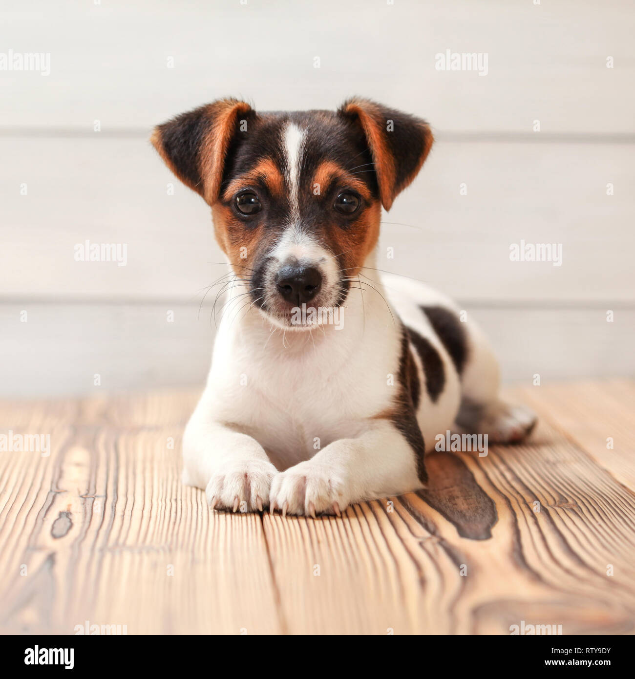 Jack Russell Terrier Puppy Laying On Boards Floor Studio Shot Stock Photo Alamy