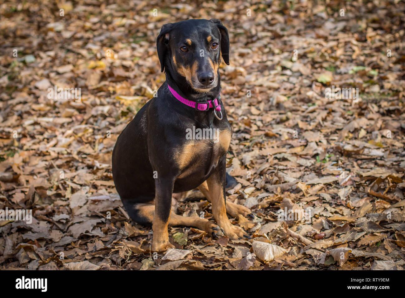 Cute black brown dog sitting in fallen leaves Stock Photo