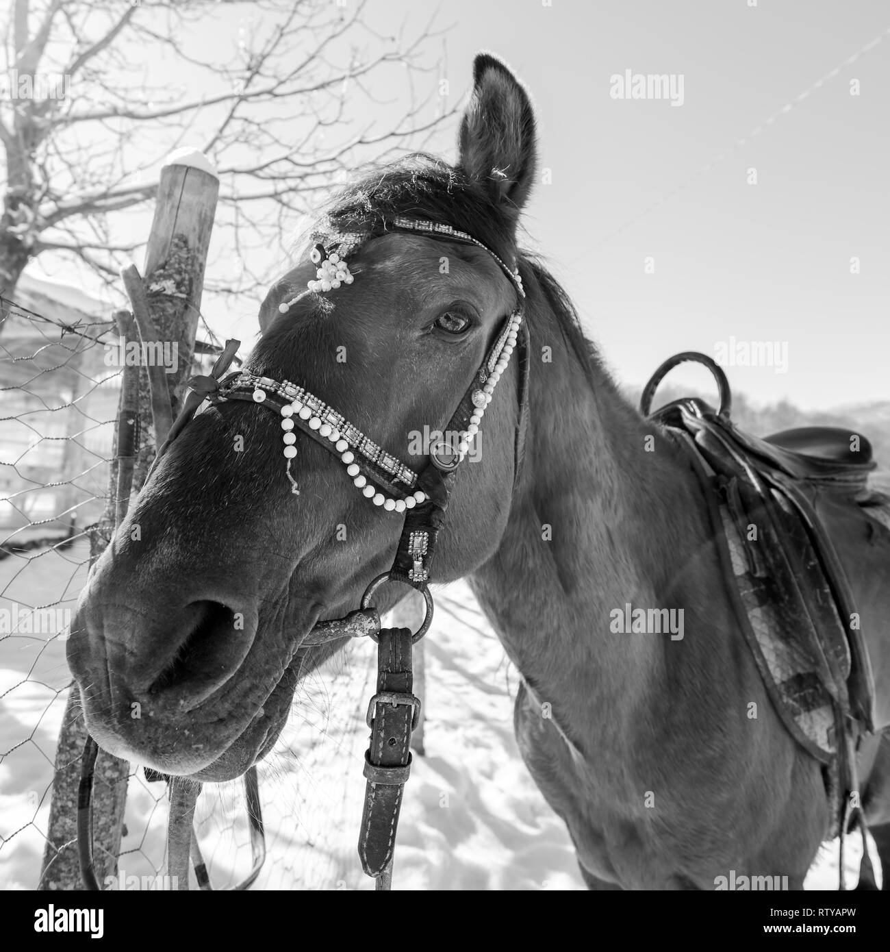 Stallion on a leash by the fence on a winter day - Stock Image