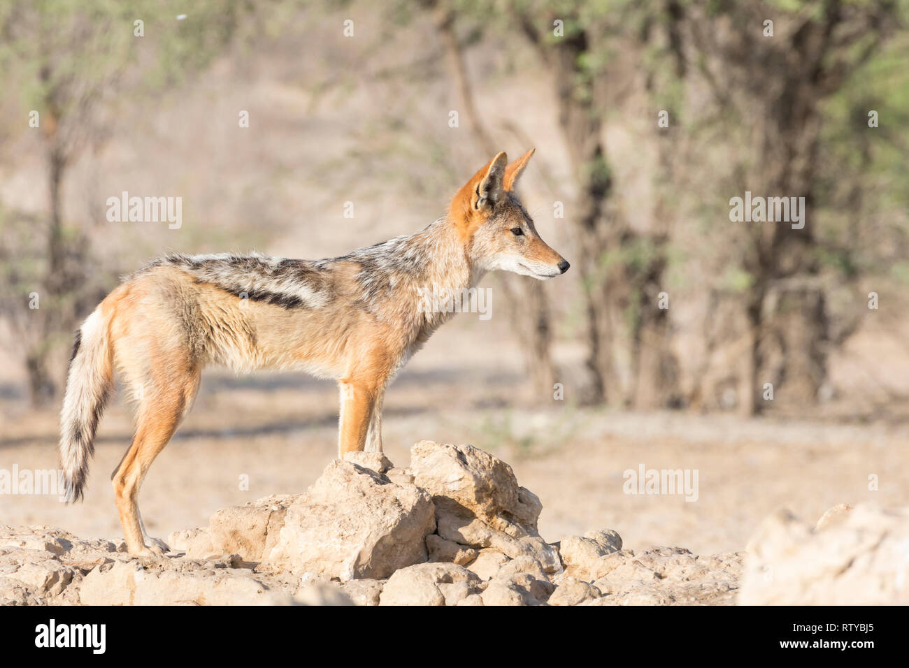 Black-backed Jackal (Canis mesomelas) standing on rock, Kgalagadi Transfrontier park, Northern Cape, Kalahari, South Africa, side view, alert, early m - Stock Image