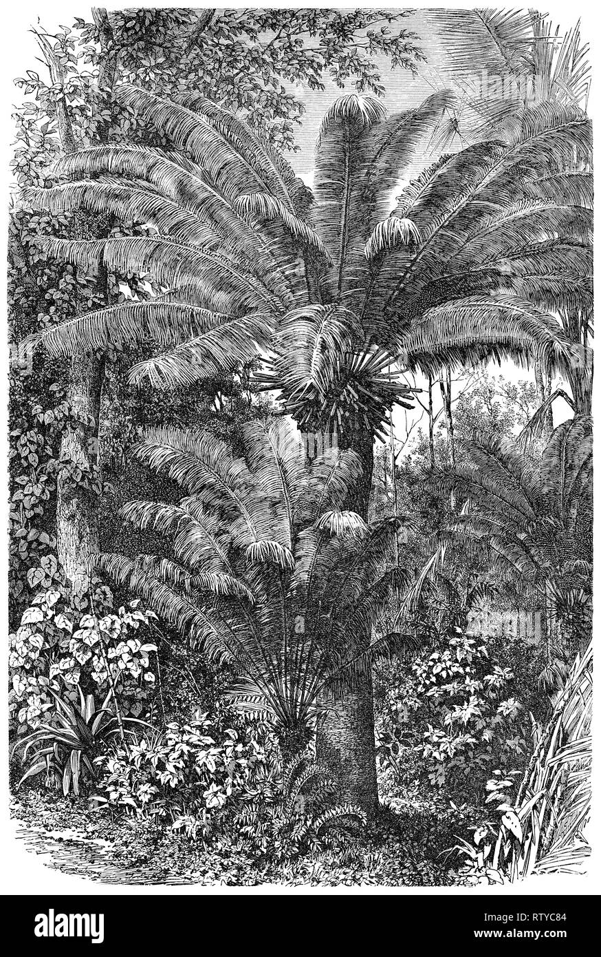 1880 vintage engraving of a palm tree in Madagascar. - Stock Image