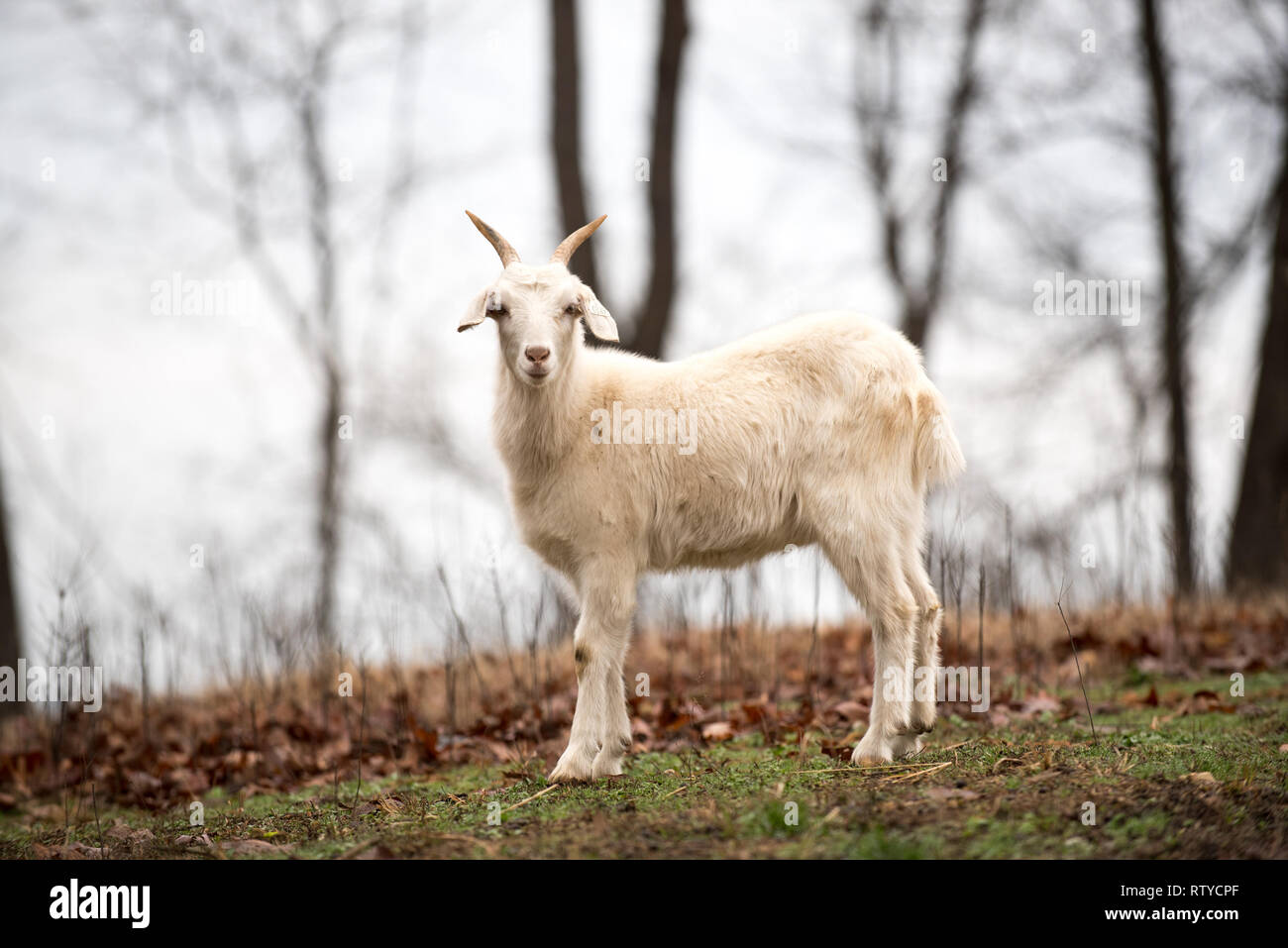 Horned Goats Stock Photos Horned Goats Stock Images Alamy
