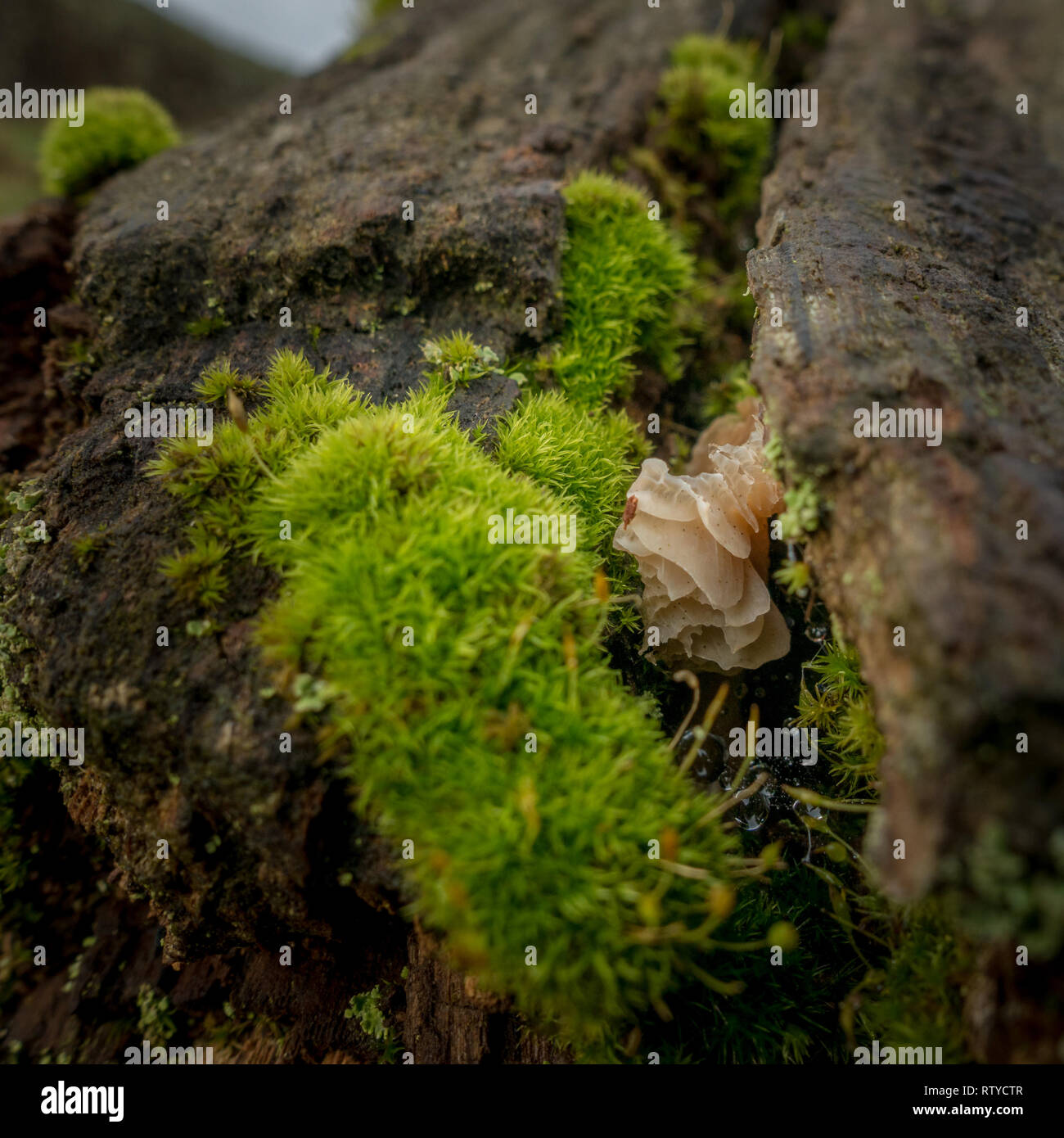 Small white papery fungi growing on a dead tree branch (likely Auricularia mesenterica, Tripe Fungus), UK Stock Photo