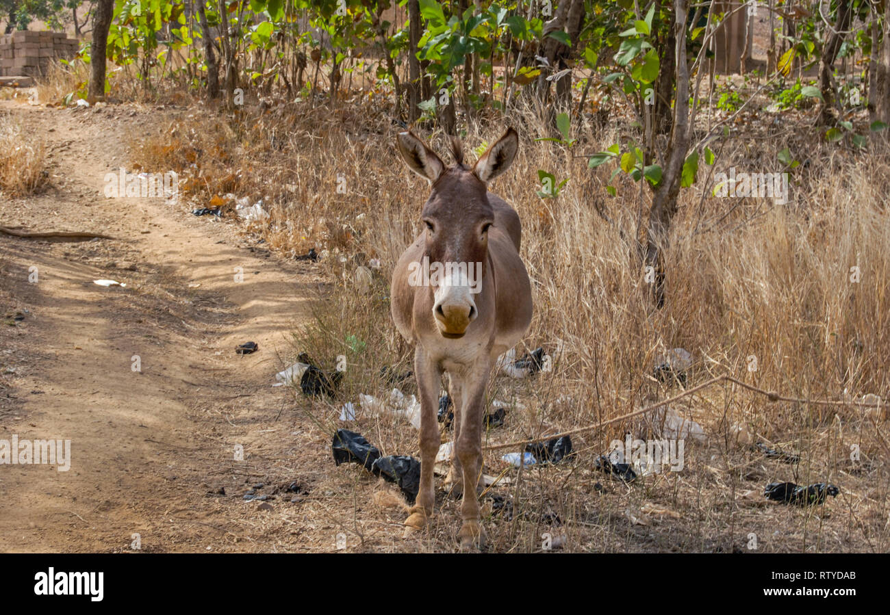 A nice portrait of a domestic donkey wandering around in the savanna. The animal is looking directly to the camera. Stock Photo