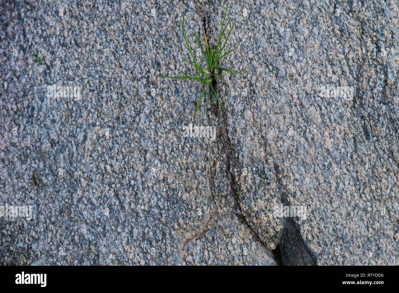 Small tuft of grass sprouts from a large rock - Stock Image