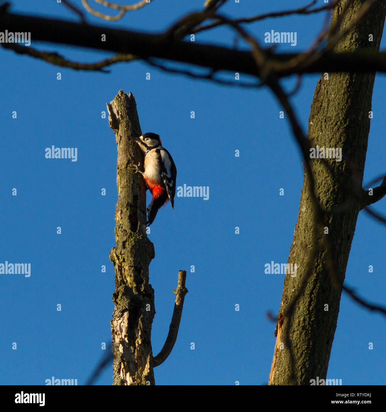 Male greater spotted woodpecker (Dendrocopos major) seemingly asleep on a dead tree stump - Stock Image