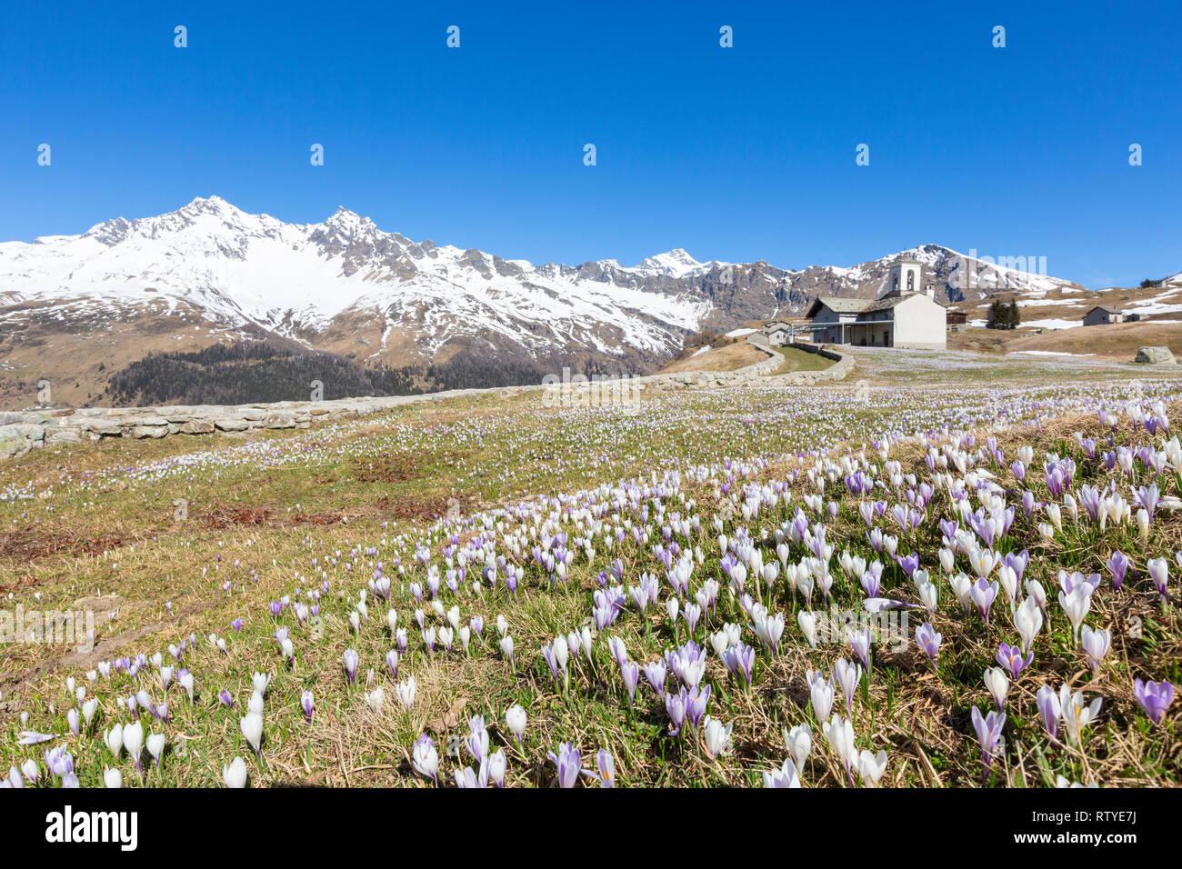 Crocus flower in bloom, Andossi, Madesimo, Chiavenna Valley, Sondrio province, Valtellina, Lombardy, Italy - Stock Image