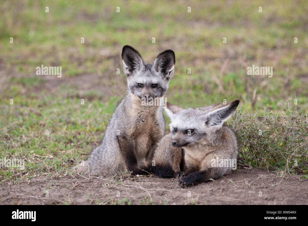 A pair of Bat eared foxes Otocyon megalotis resting on grassland in African savanna in Ndutu, Tanzania - Stock Image