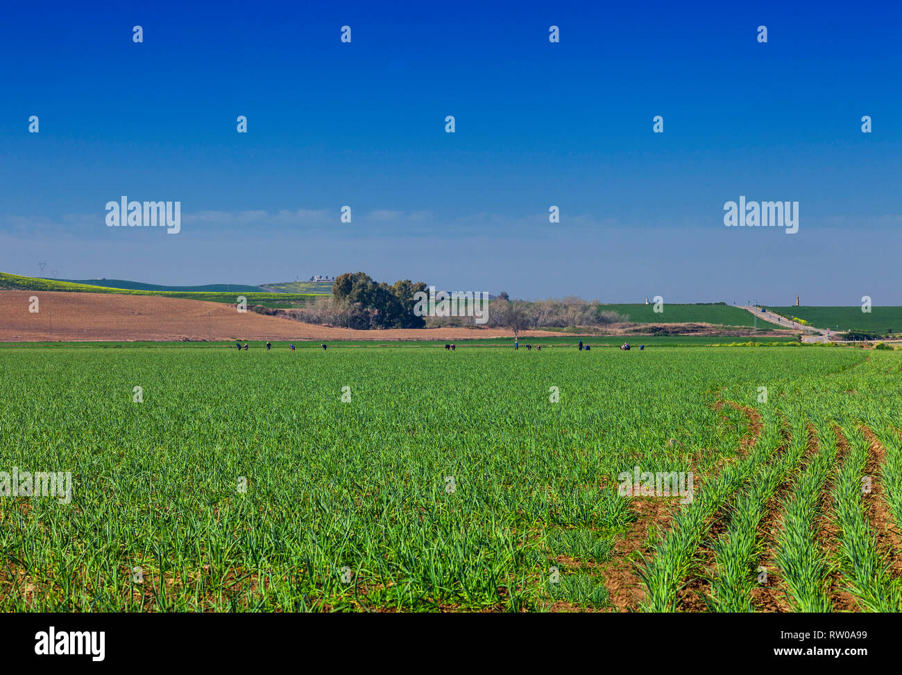 Early spring with a line of farm labourers tending crops in fields near Cordoba, Andalucia, Spain - Stock Image