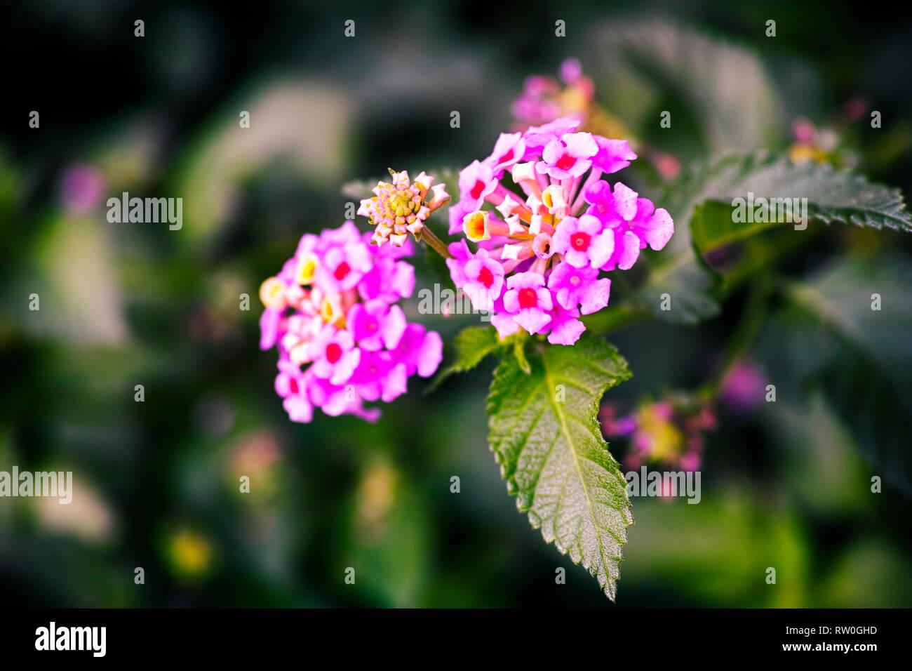 Pink lantana flowering. Close up. - Stock Image