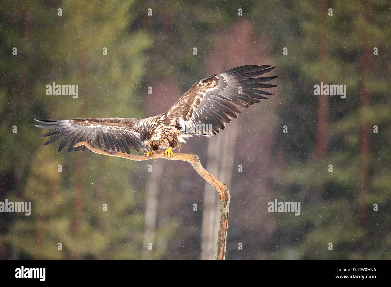 White tailed eagles shot from a hide in mid Sweden Stock Photo