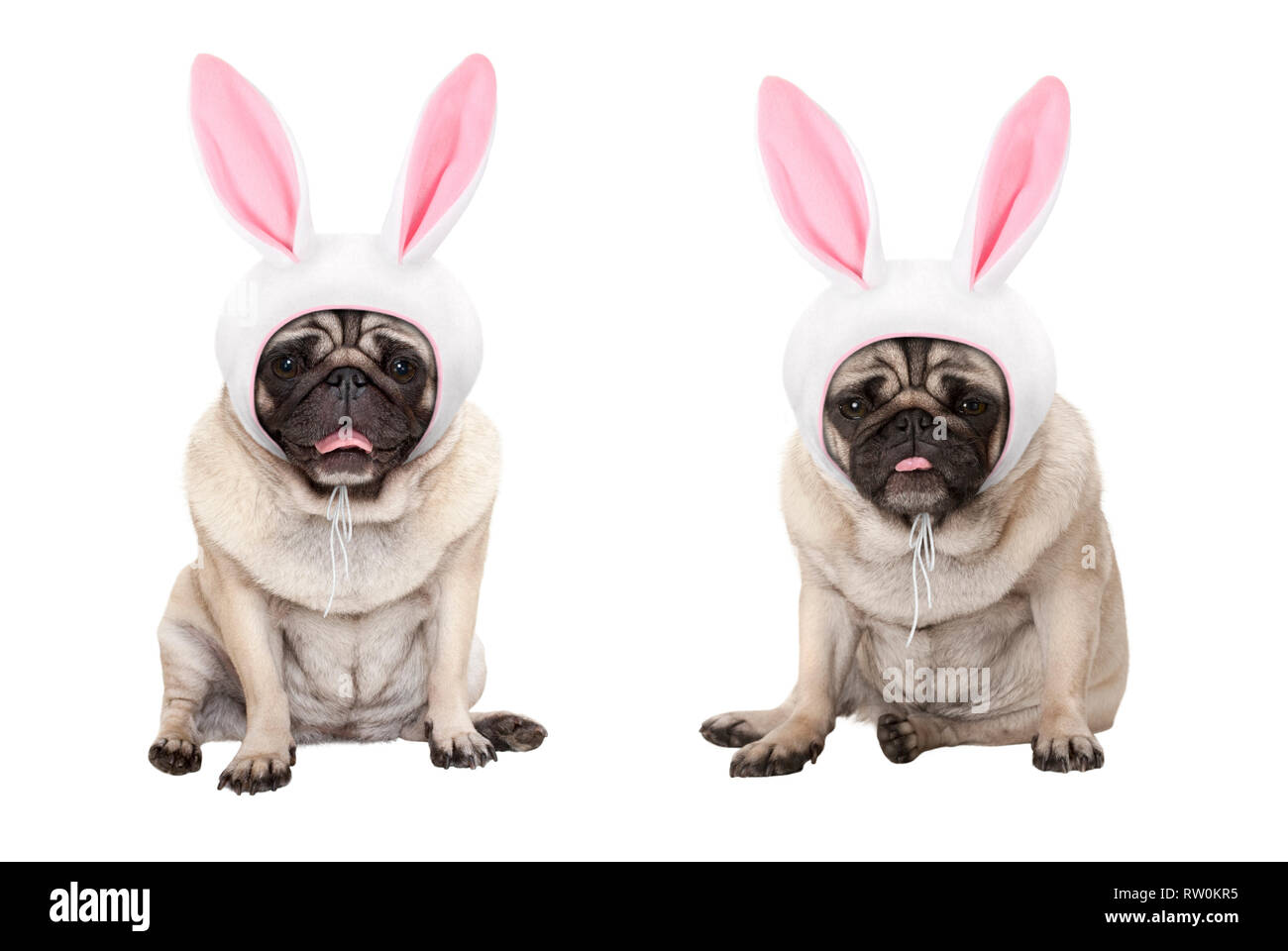 funny little easter pug puppy dogs, sitting down, wearing easter bunny cap with ears, isolated on white background Stock Photo