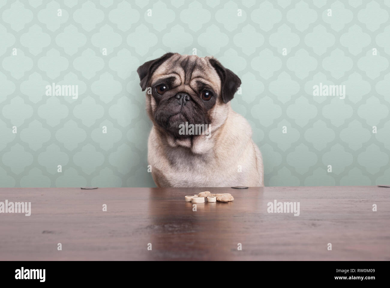 cute pitiful pug puppy dog on a no carbs diet sitting at wooden table with snacks in front, on pastel green background Stock Photo