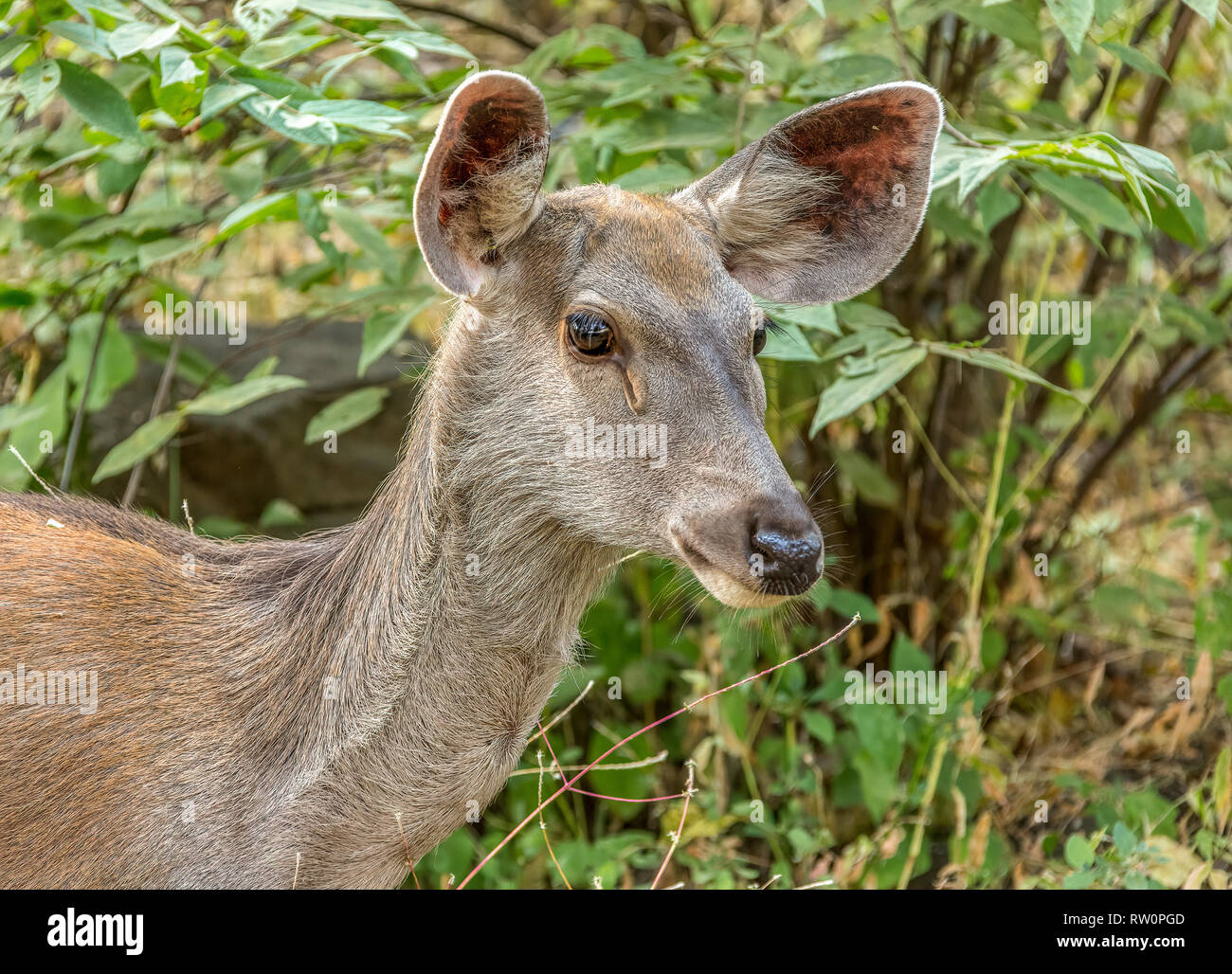 The sambar is a large deer native to the Indian subcontinent, southern China, and Southeast Asia that is listed as Vulnerable on the IUCN Red List sin - Stock Image