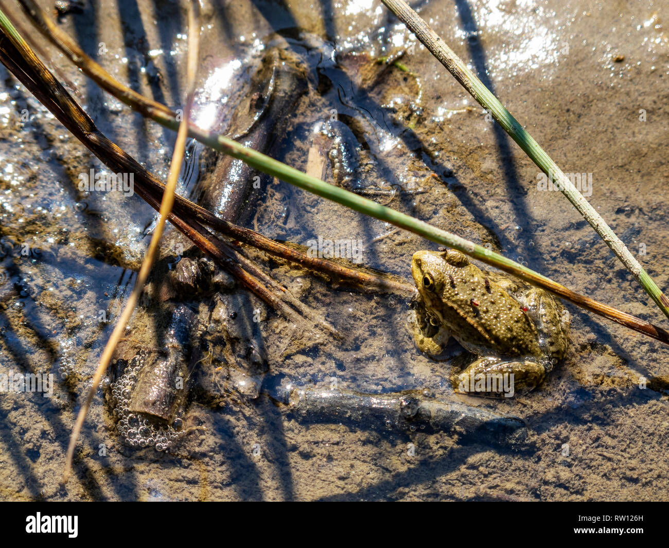 A frog standing motionless in the mud in a puddle on a riverbank with biting midge flies on it - Stock Image