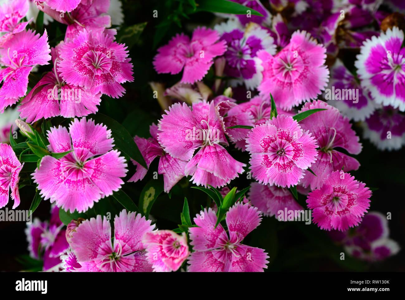 Beautiful pink Dianthus flower in garden, top view - Stock Image