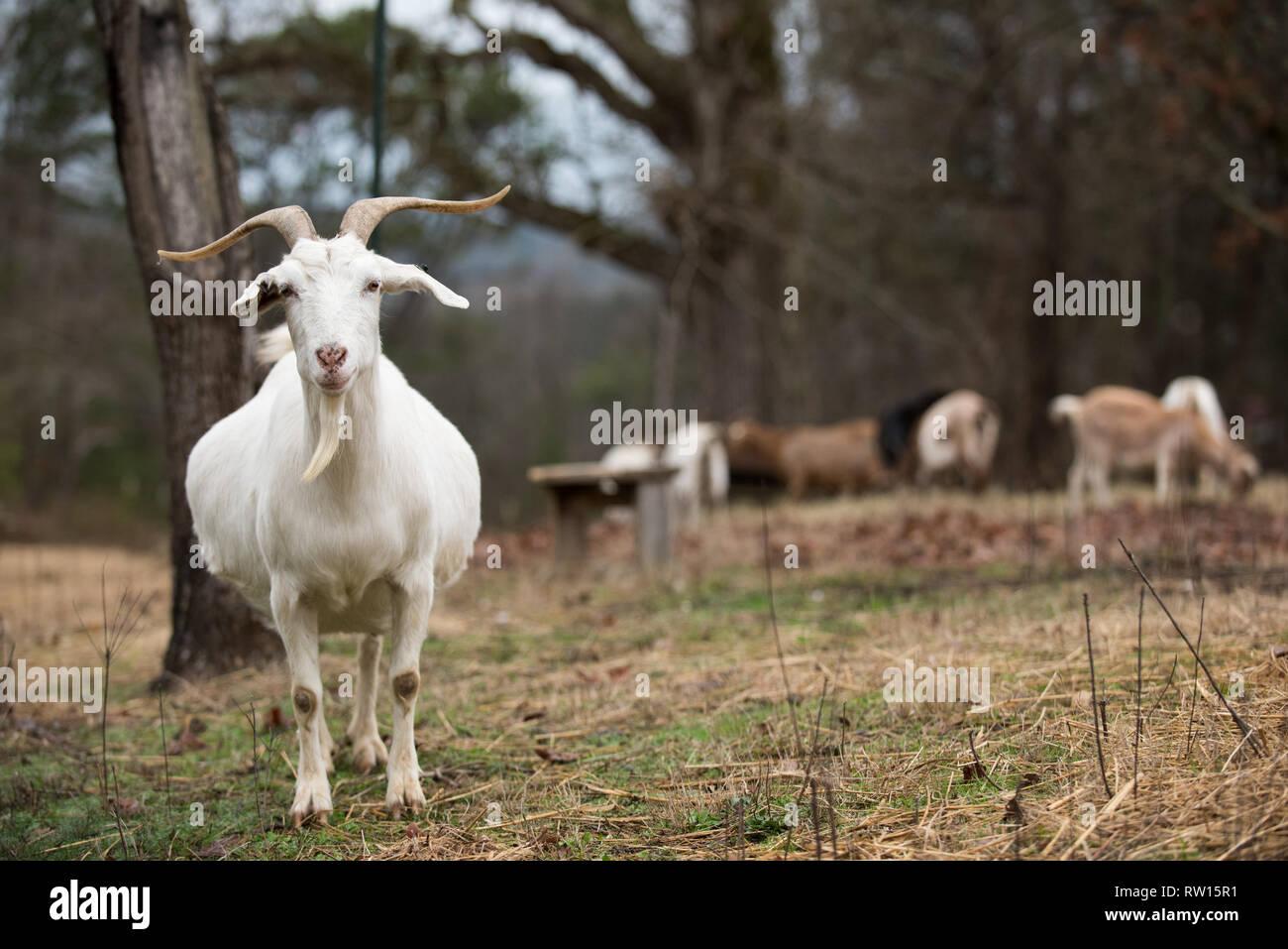 Pregnant Goat Stock Photos Pregnant Goat Stock Images Alamy