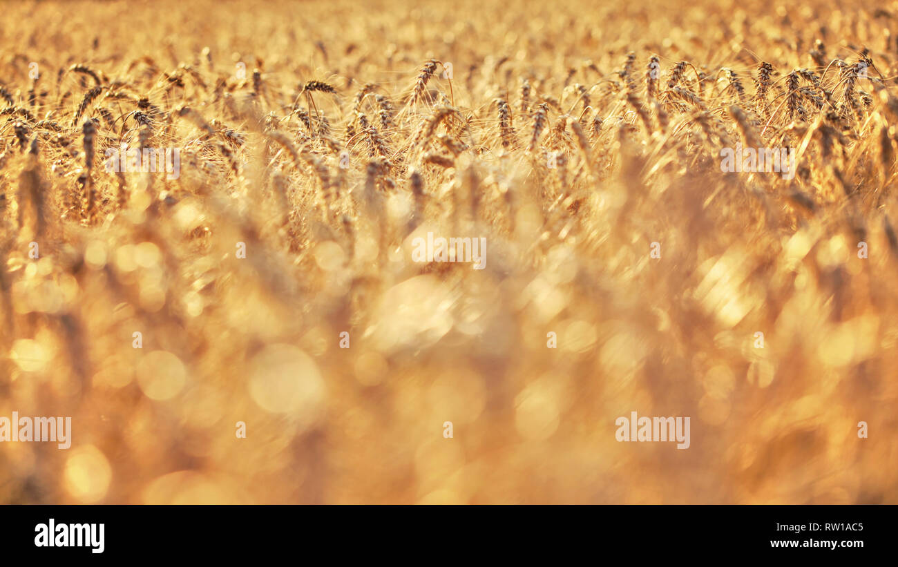 Shallow Depth Of Field Wheat Field Lit By Golden Afternoon