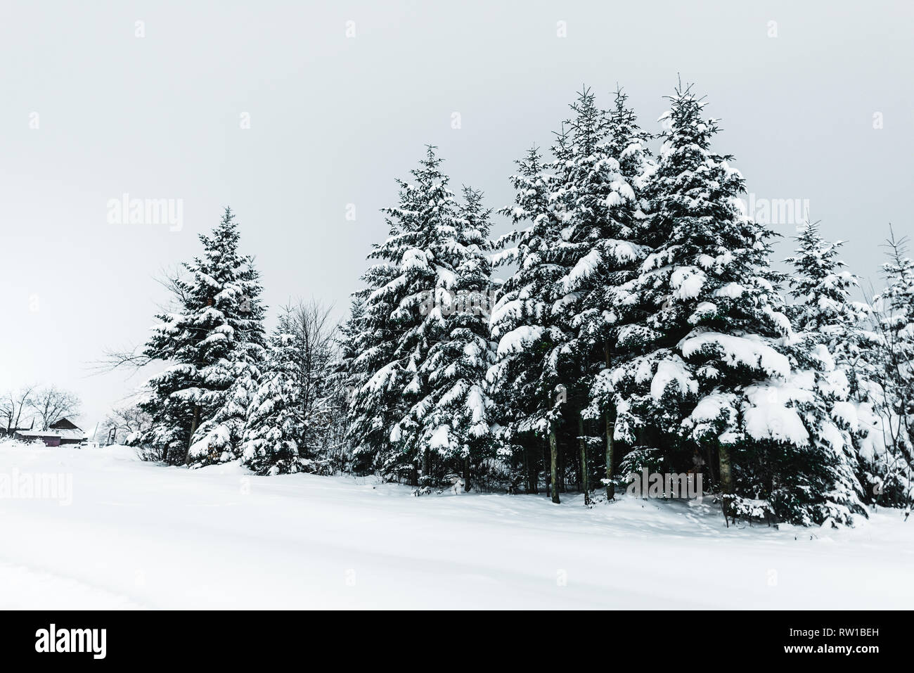 road in carpathian mountains covered with snow among spruces - Stock Image