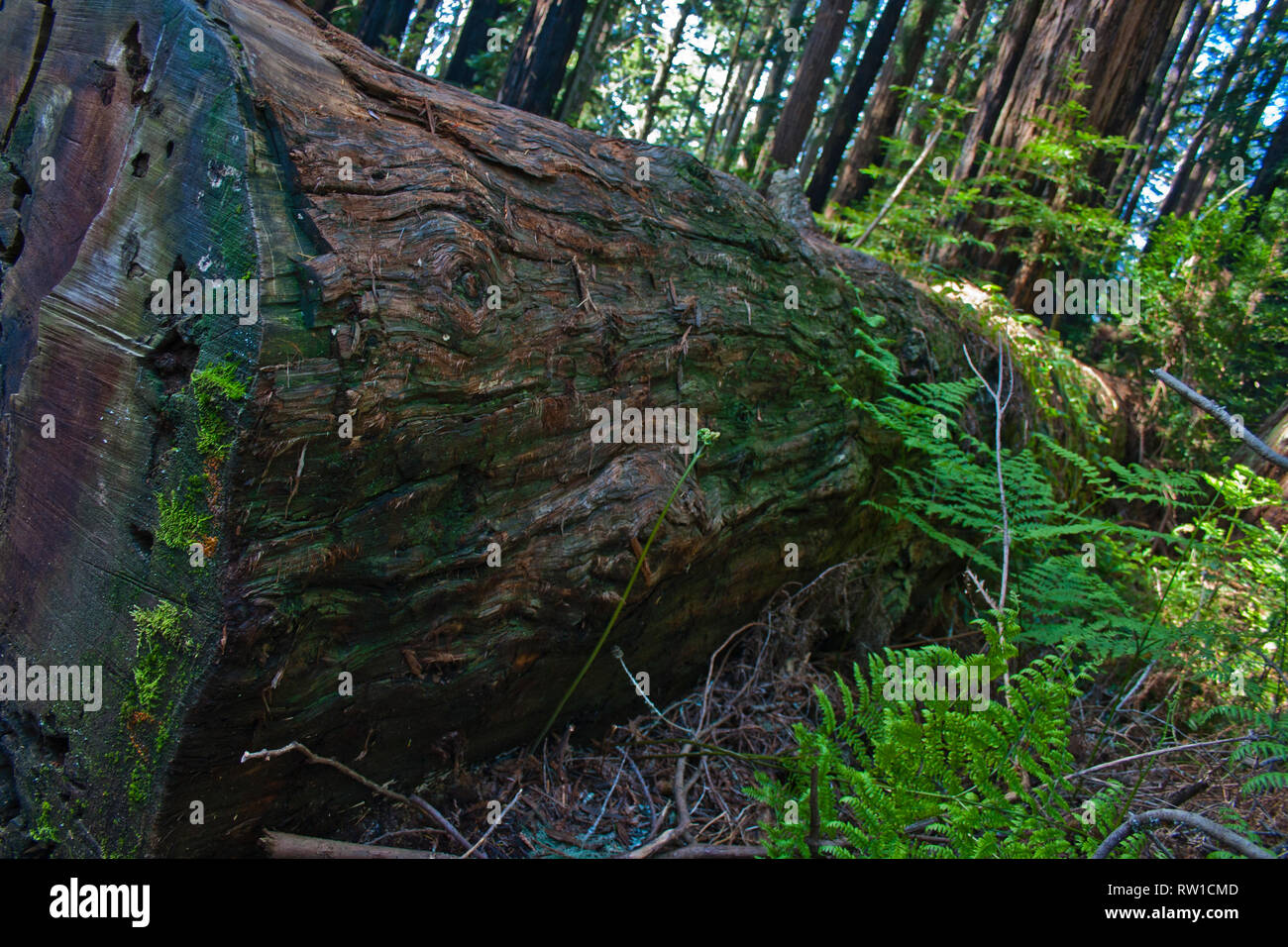 Single trunk in the redwoods of Muir Woods, California - Stock Image