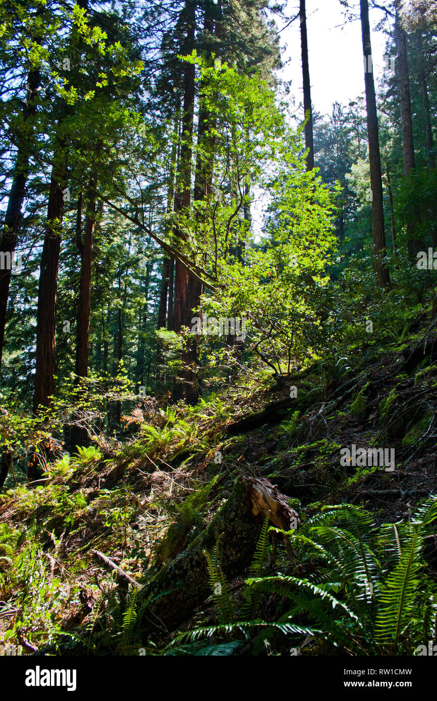 Deep in the forest in Muir Woods, California - Stock Image