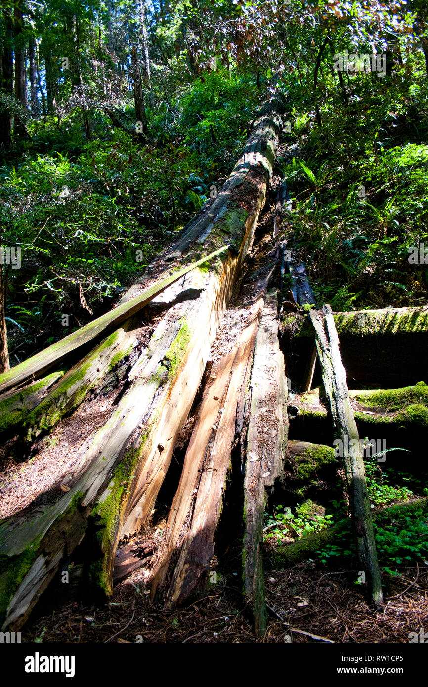 Single trunk in the redwoods of Muir Woods, California Stock Photo