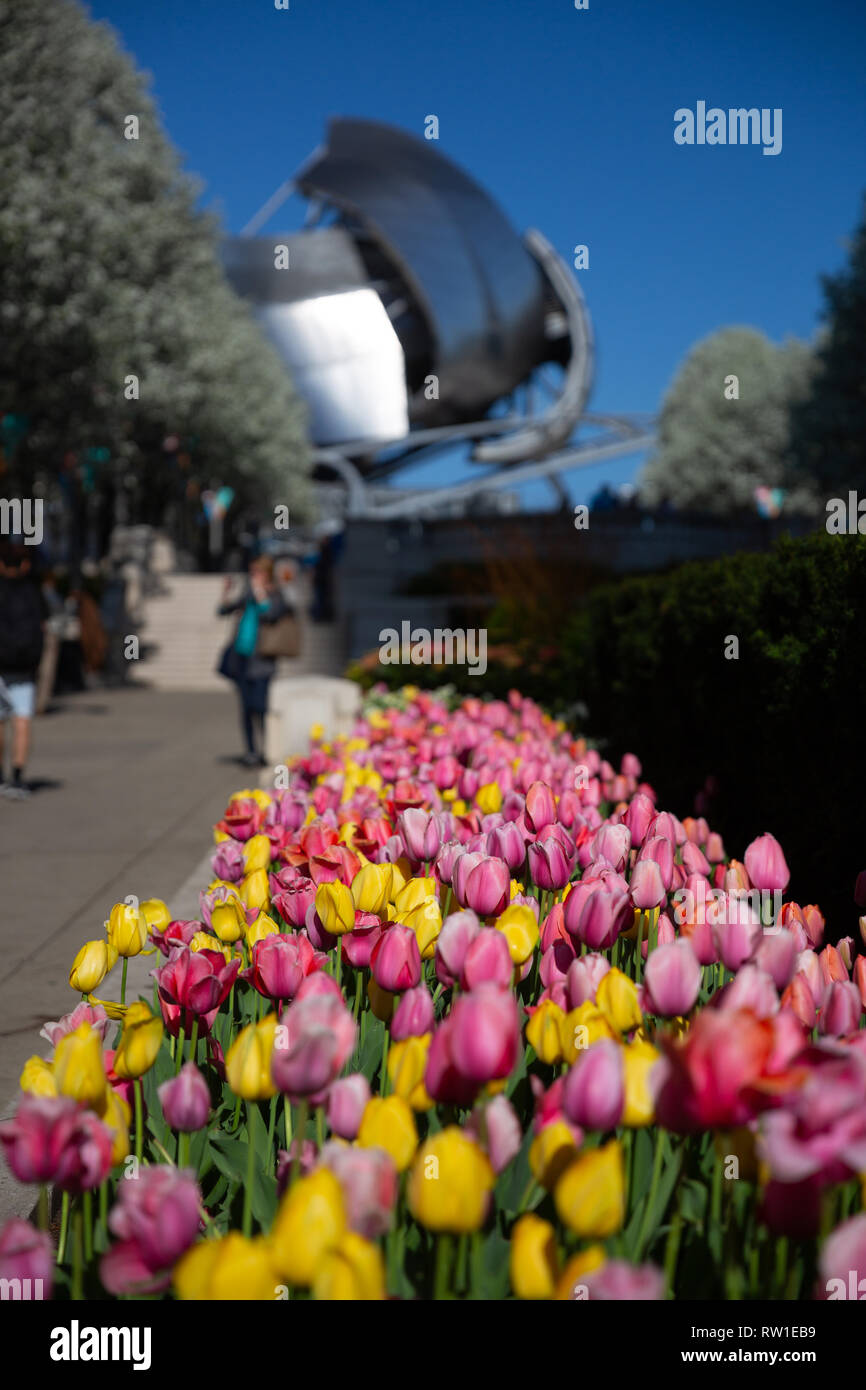 Pink and yellow springtime flowers in Millennium Park - Chicago, IL - Stock Image