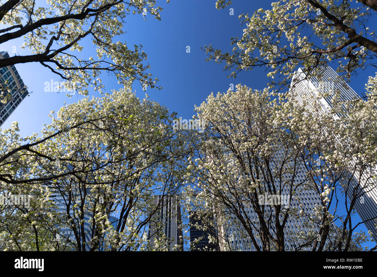 Trees flowering in Millennium Park in the beginning of spring in Chicago with blue sky and buildings in background - Stock Image