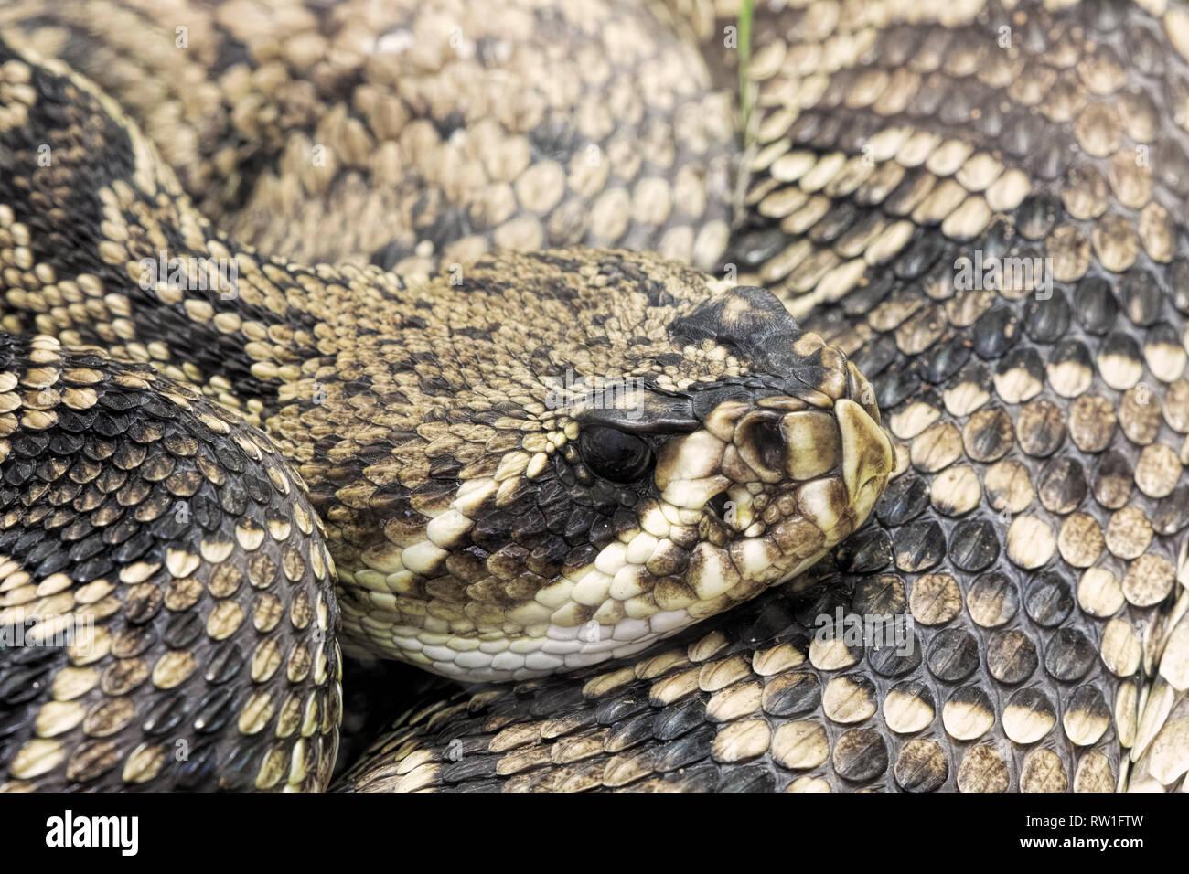 Eastern Diamondback Rattlesnake. Crotalus adamanteus is a venomous pit viper native to the Southeastern United States Stock Photo