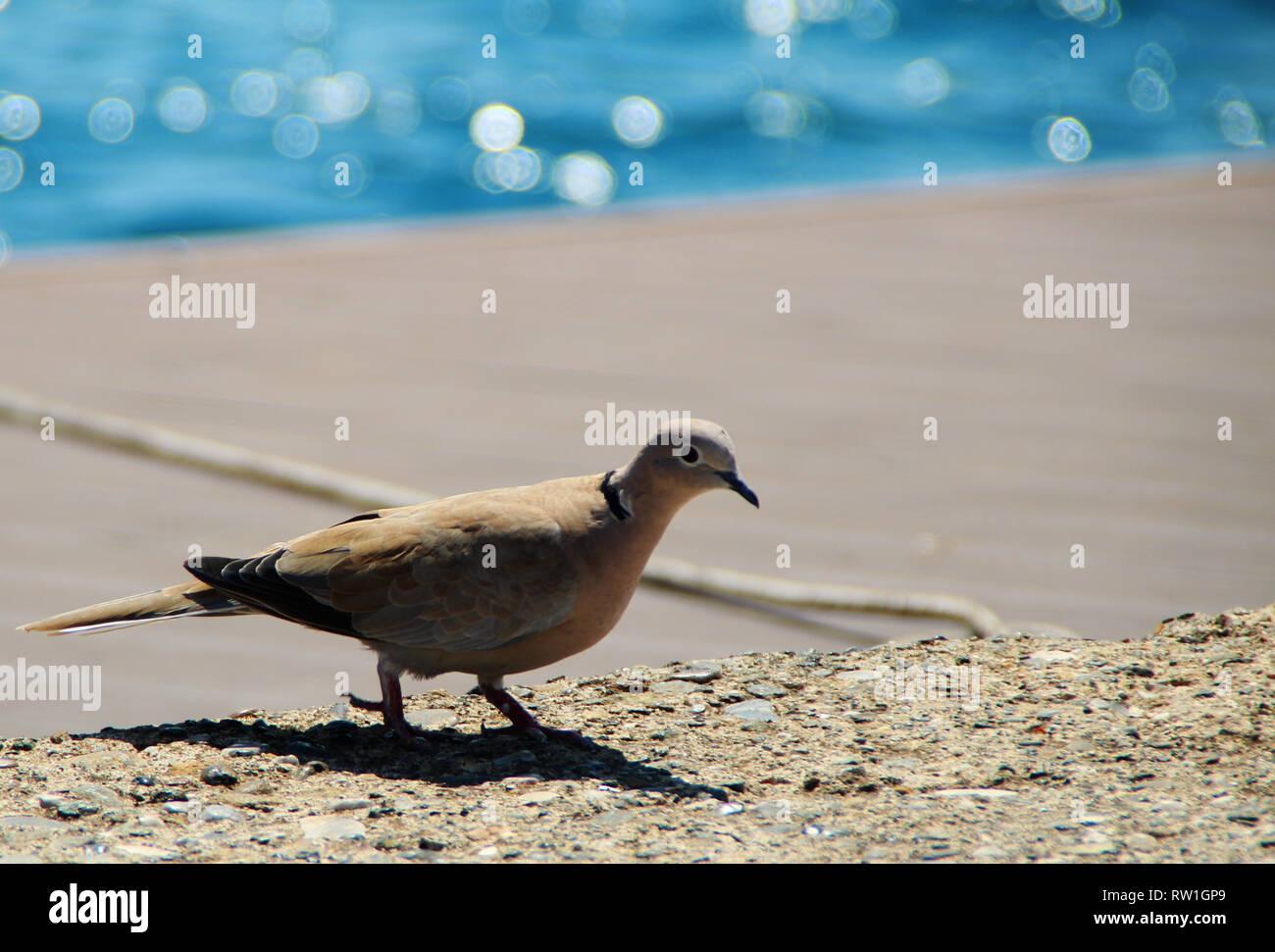 Pigeon sitting near the seaside - Stock Image