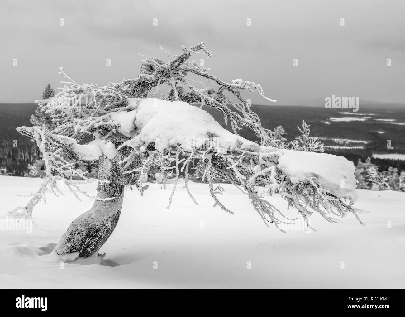 Icy and snowy twisted pine tree on top of a fell in Lapland, Finland on dramatic overcast winter afternoon - Stock Image