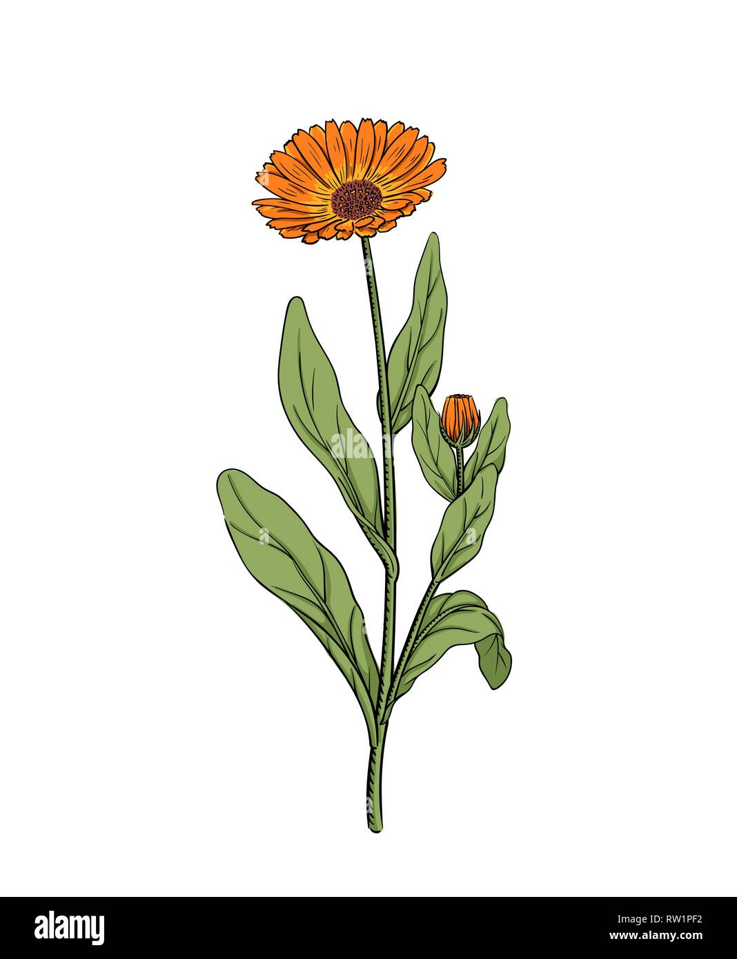 Calendula vector illustration of marigold flower twig sketch