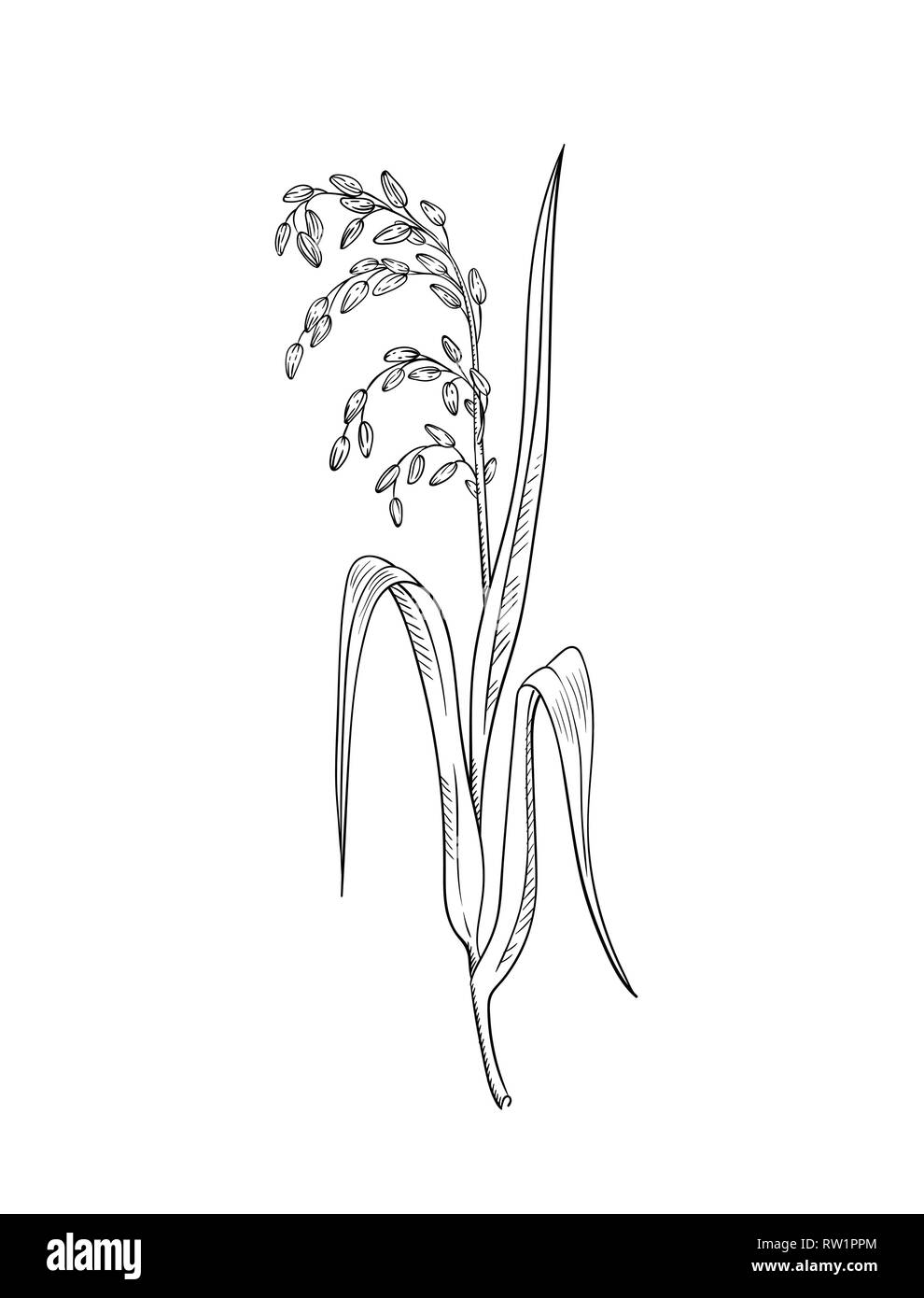 Rice plant botanical illustration vector sketch of rice twig with leaves and earof ripe grains isolated on white asian beauty herb - Stock Vector