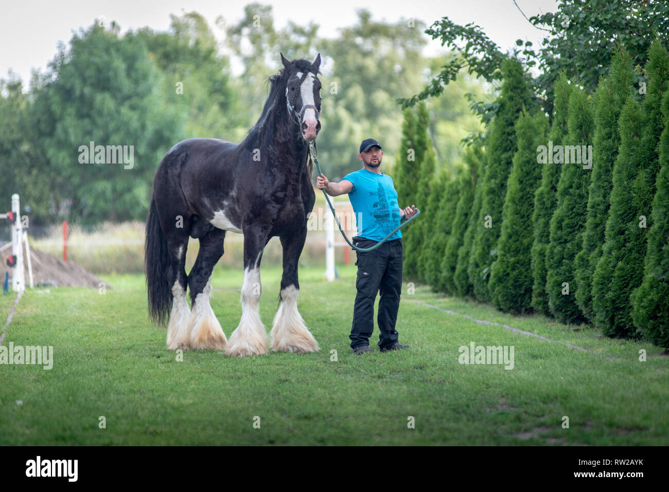 Man Stands On Grassy Area Holding Lead Of Large Black Draft Horse Kutno Lodz Voivodeship Poland Stock Photo Alamy