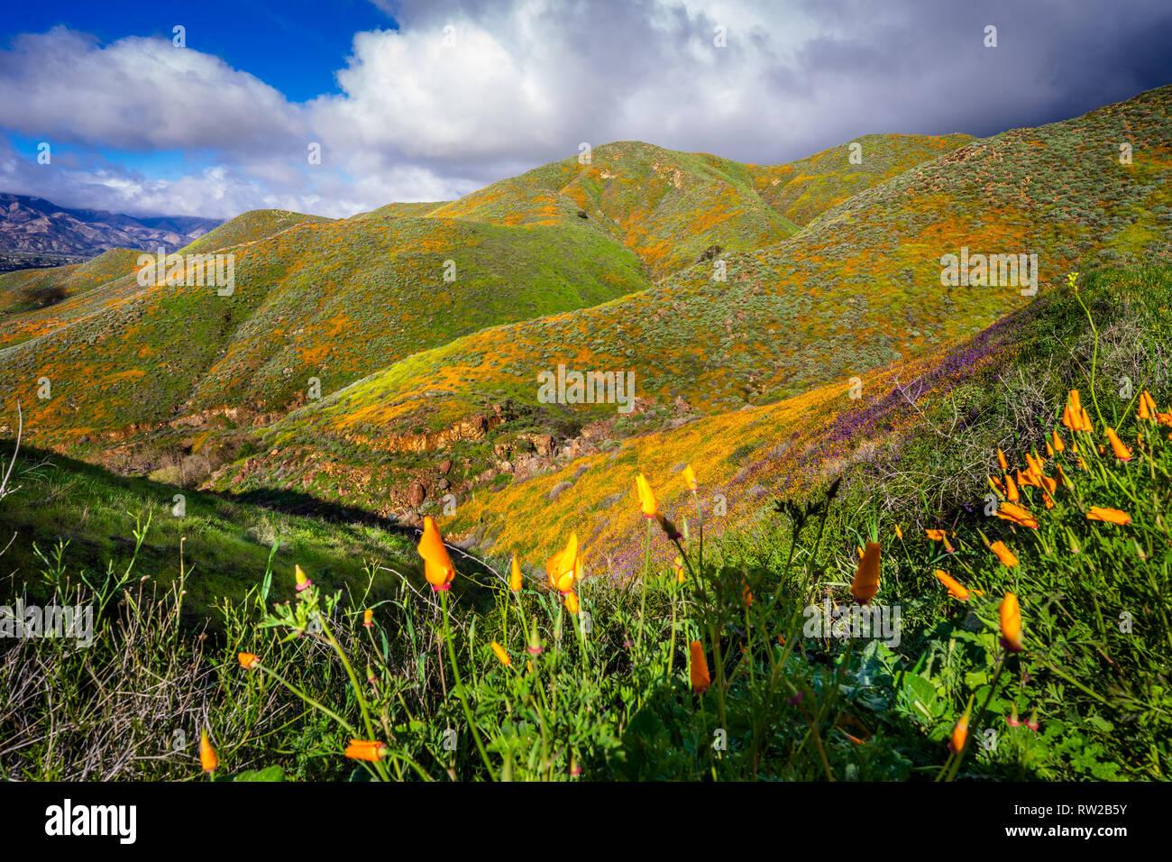 Wildflower Super Bloom - Stock Image