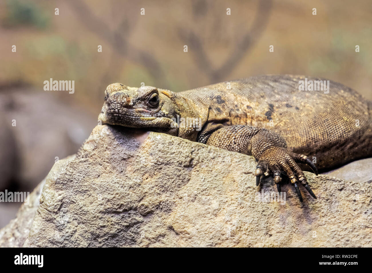 Chuckwalla,  Sauromalus ater are found primarily in arid regions of the southwestern United States and northern Mexico - Stock Image