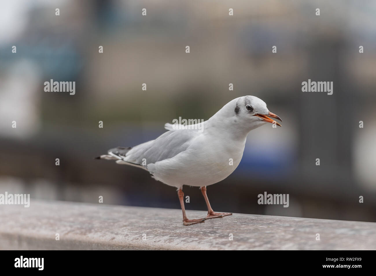 Black headed gull at the side of the River - Stock Image
