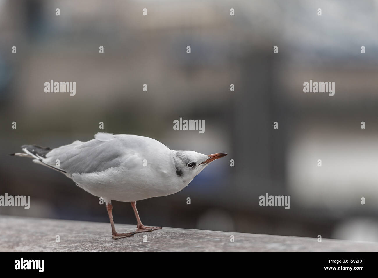 Black headed gull looking curious on a wall by the river Thames London - Stock Image