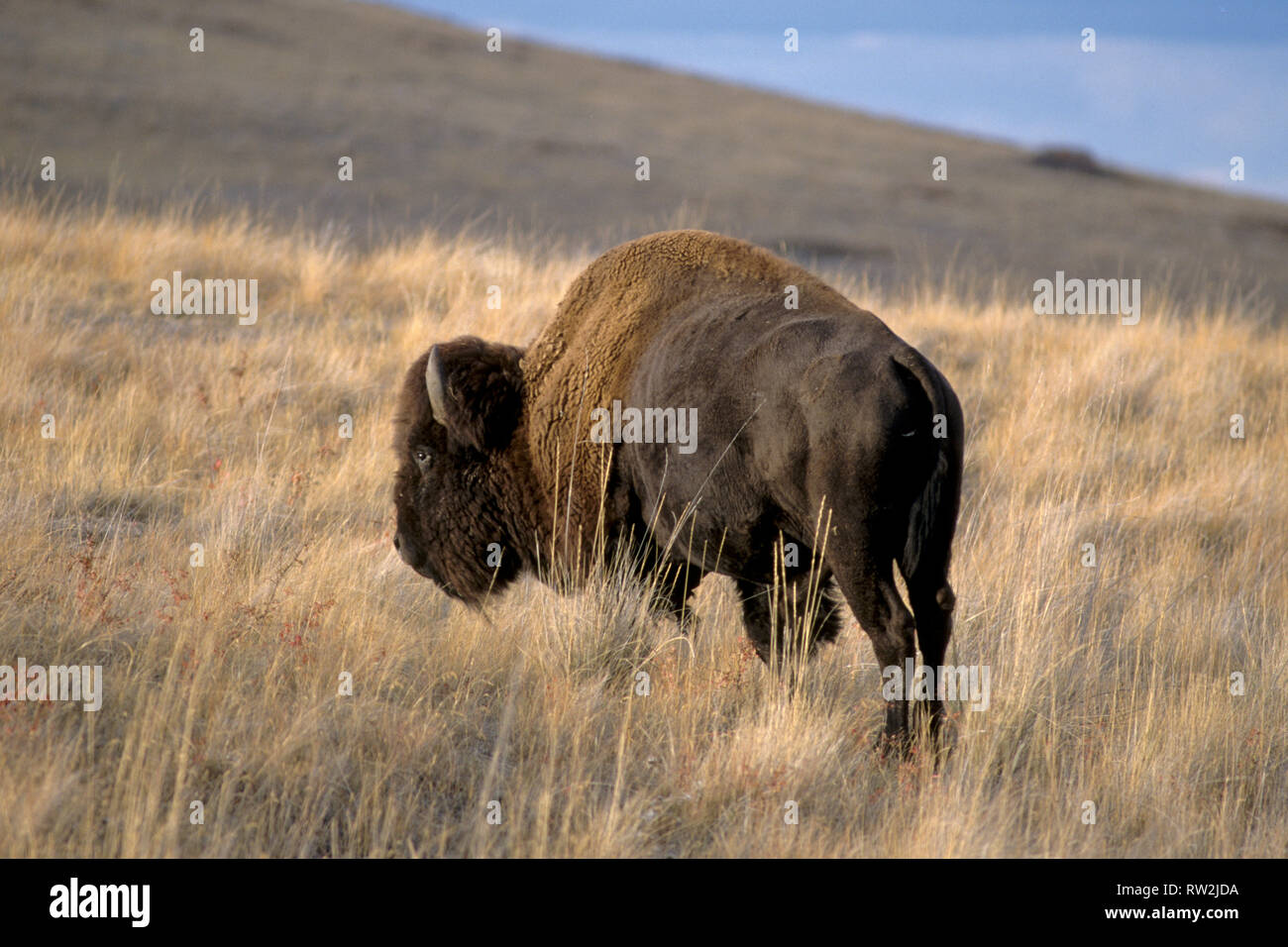 American bison; National Bison Range, NW Montana - Stock Image