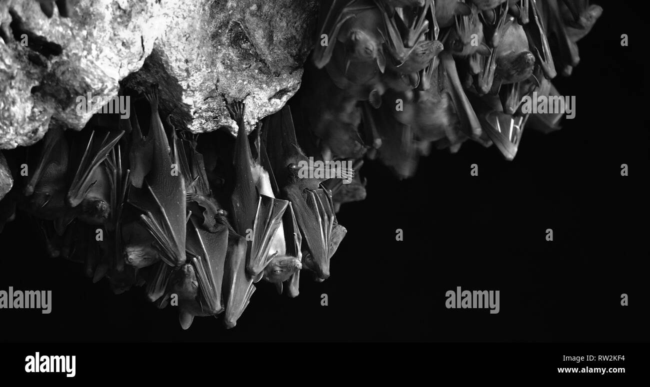 Bats swarm b&w photo hanging and flying close up at bat cave wall of a holy hinduism temple Goa Lawah Bali - Indonesia - Stock Image