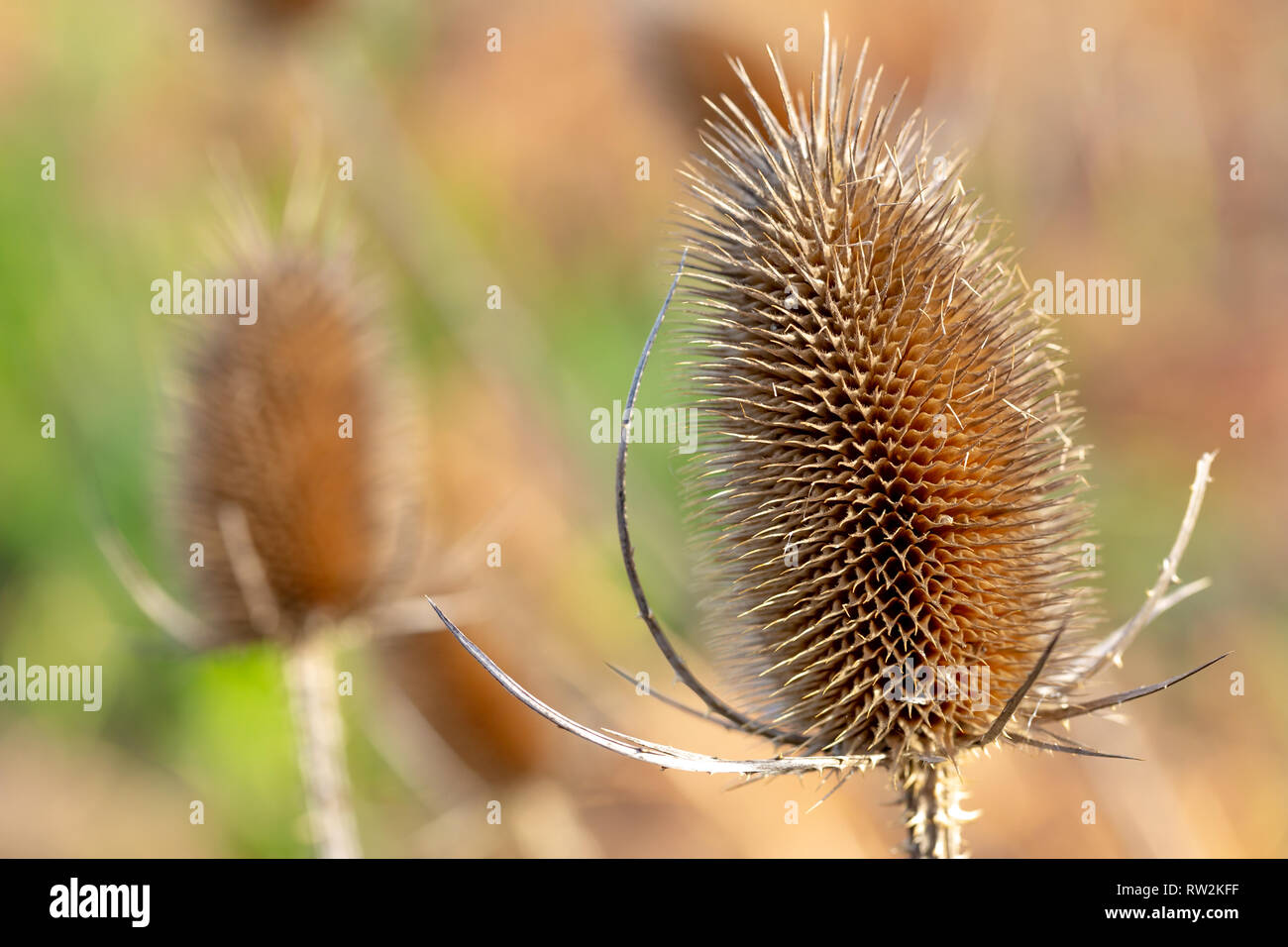 Creative selective focus photograph of a dead Common Teasel head (Dipsacus fullonum), shot off-centre with another head blurred in background. - Stock Image
