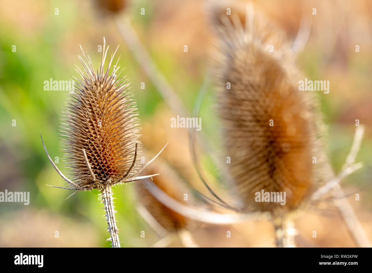 Creative selective focus photograph of a dead Common Teasel head (Dipsacus fullonum), shot off-centre with another head blurred in foreground. - Stock Image