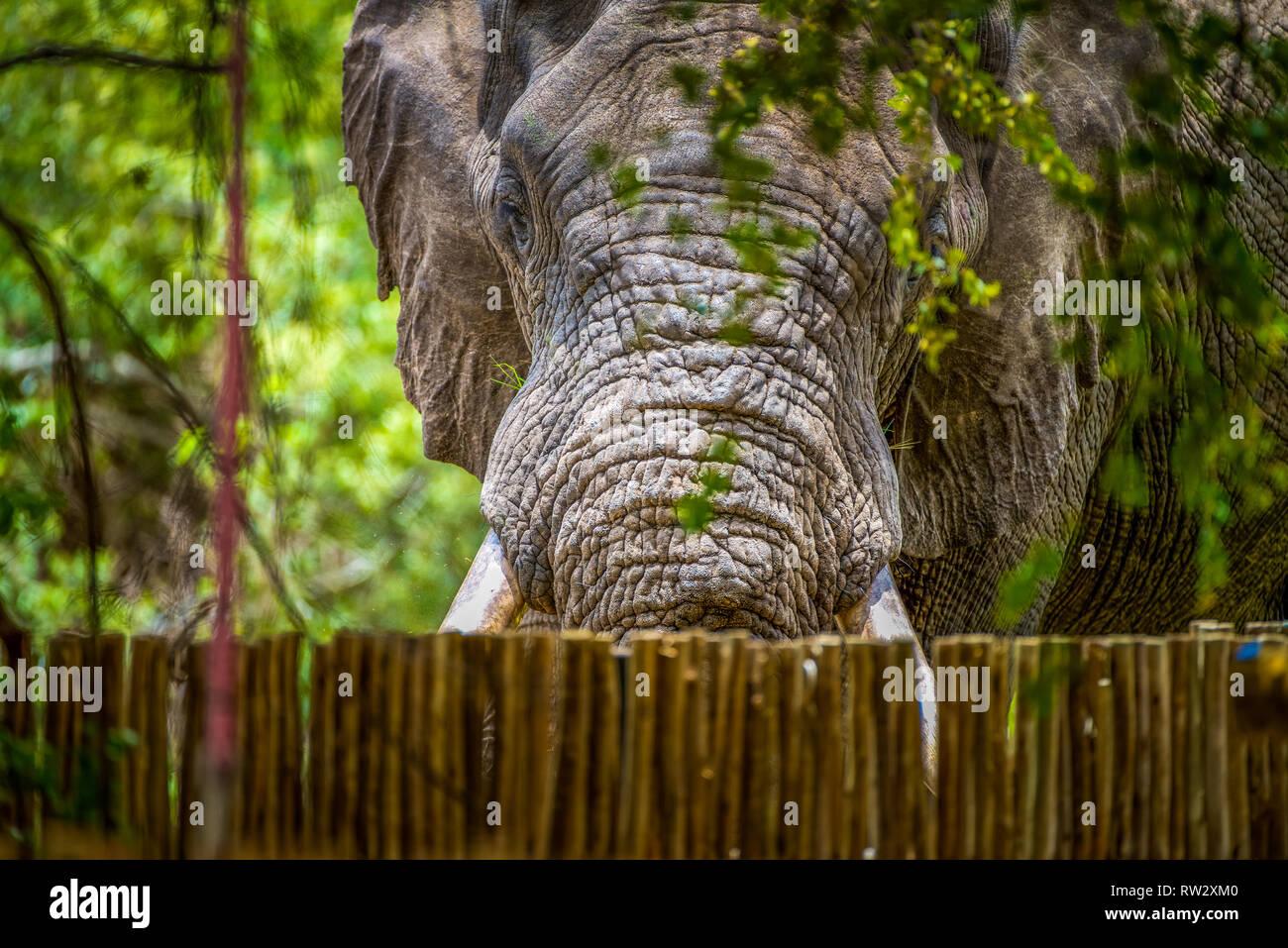 Large african elephant peering over lodge fence in Botswana - Stock Image