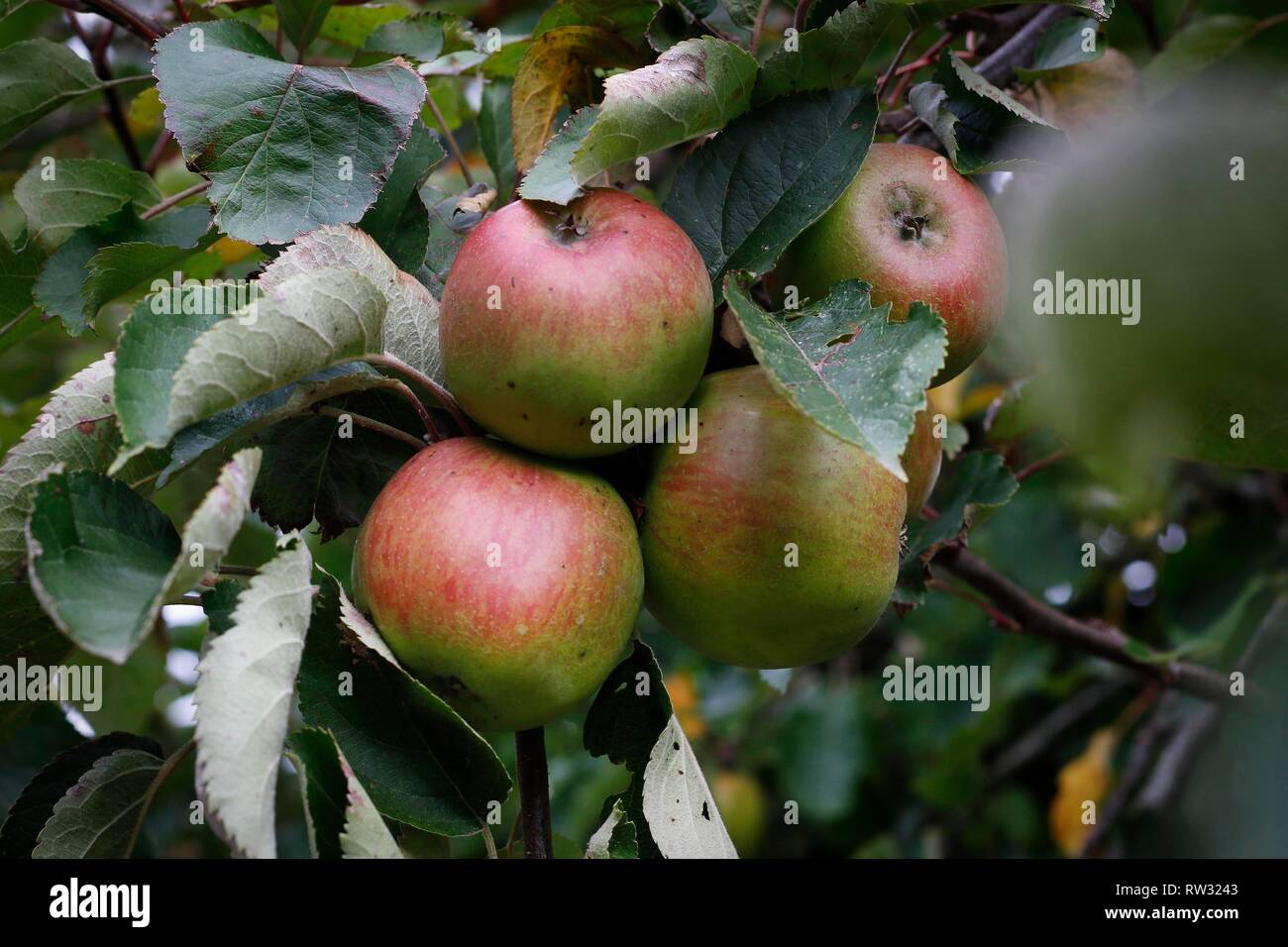 Hard Knock apples, originally from Oxenton, near Cheltenham, Gloucestershire, growing in Charles Martell's home orchard. - Stock Image