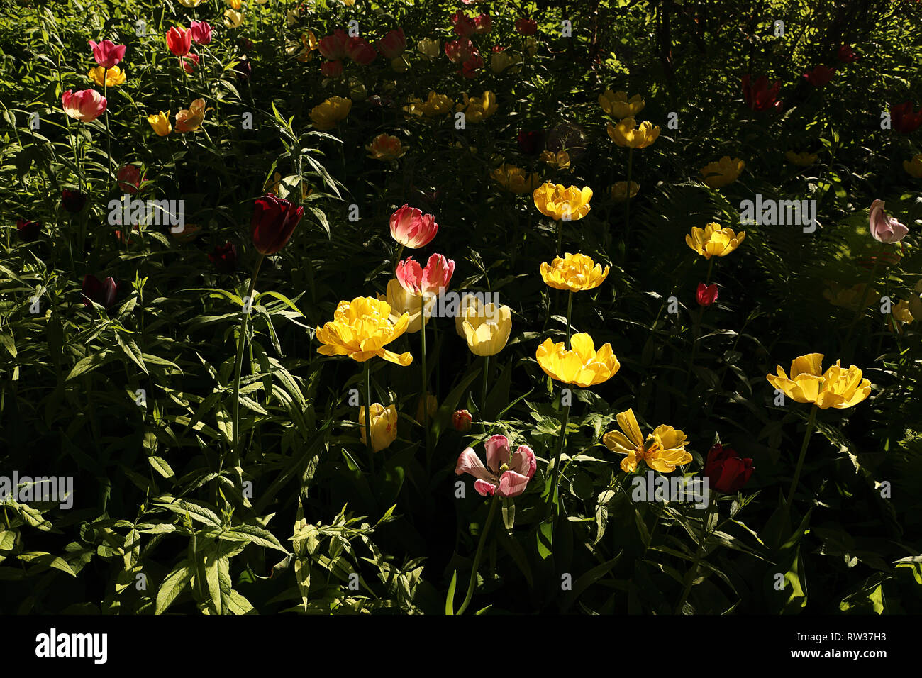 Colorful Tulip Flowers Blooming In The Spring Garden Dark Floral