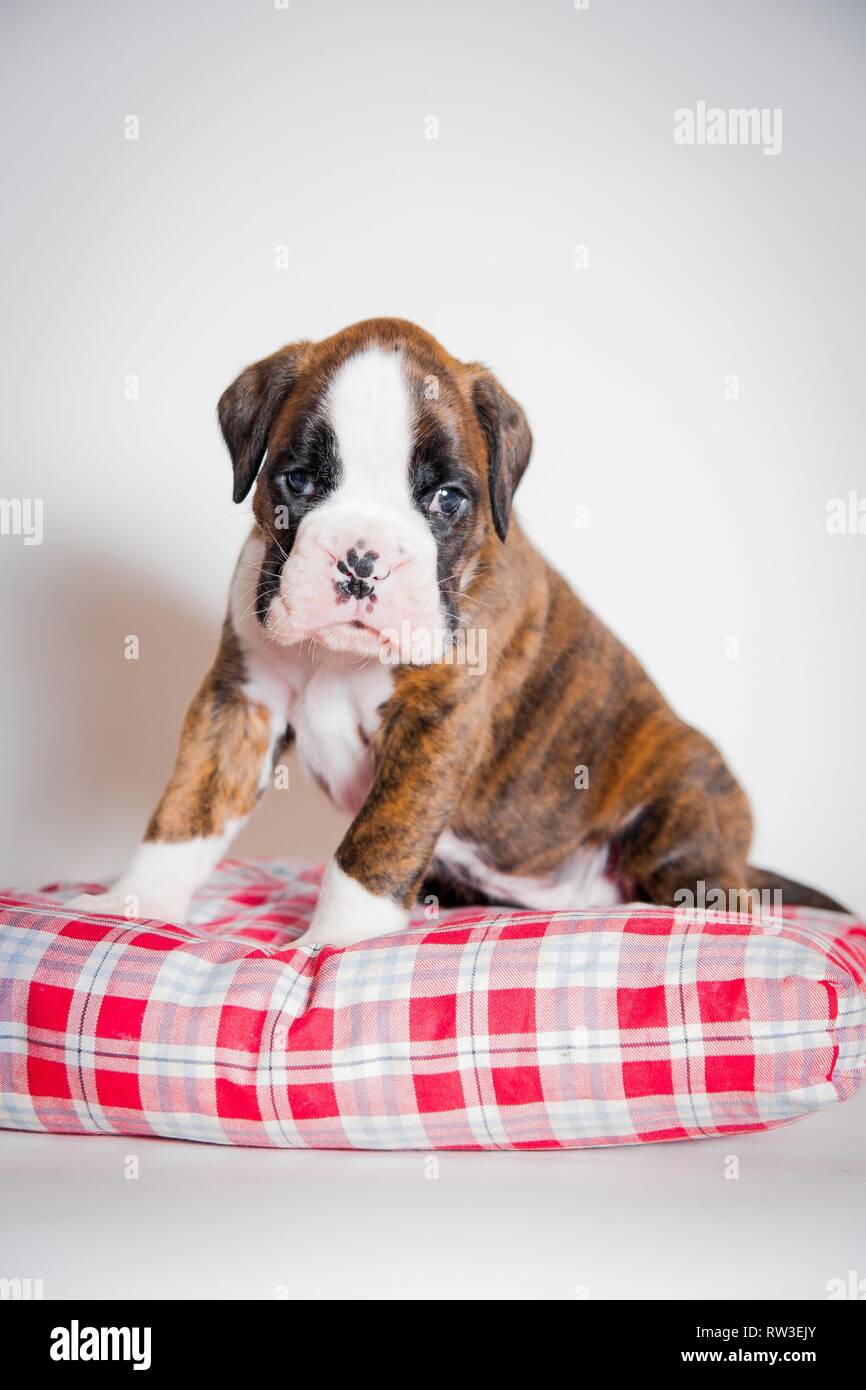 German Boxer Puppy Stock Photo Alamy