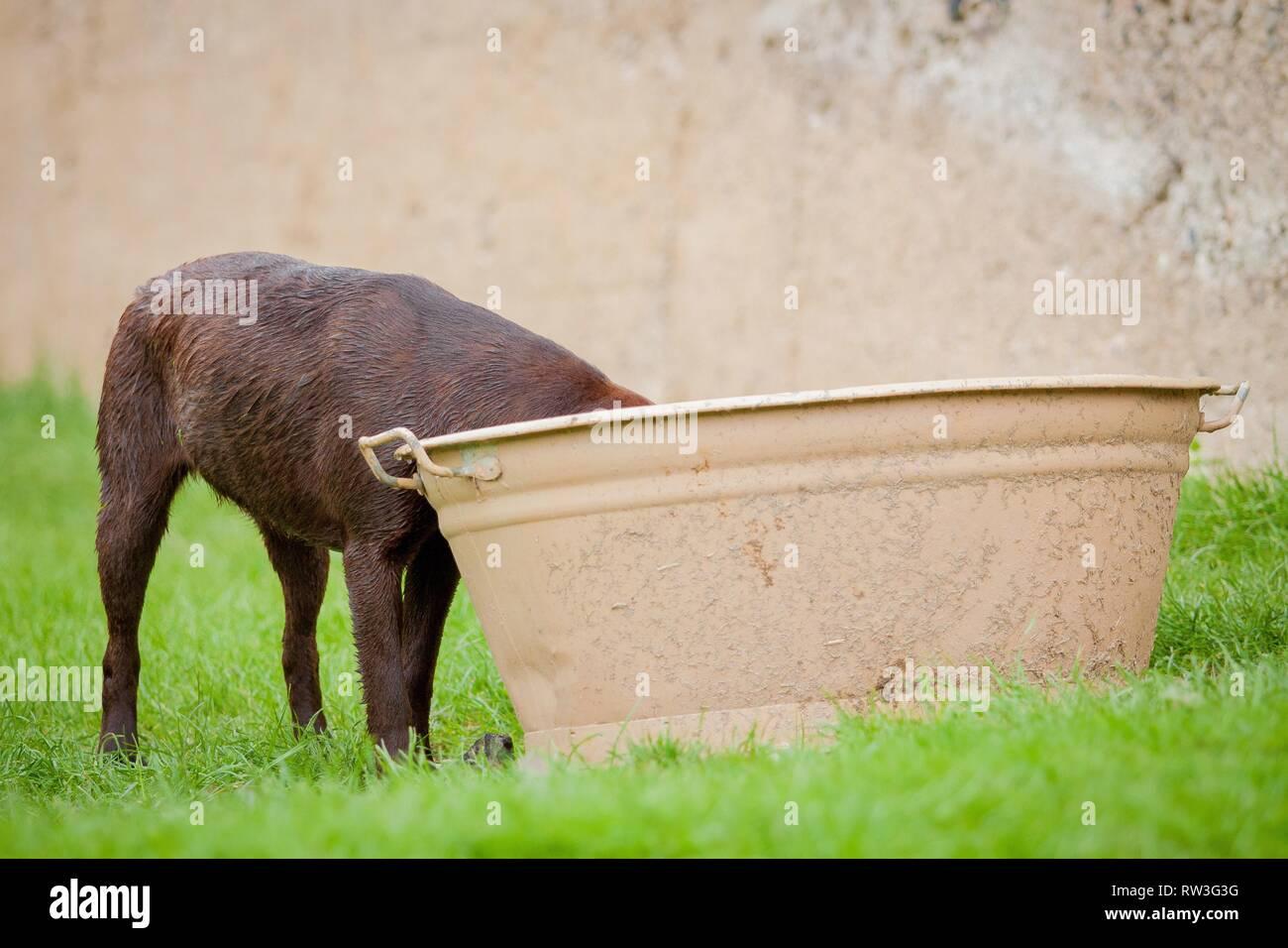 Labrador Retriever - Stock Image