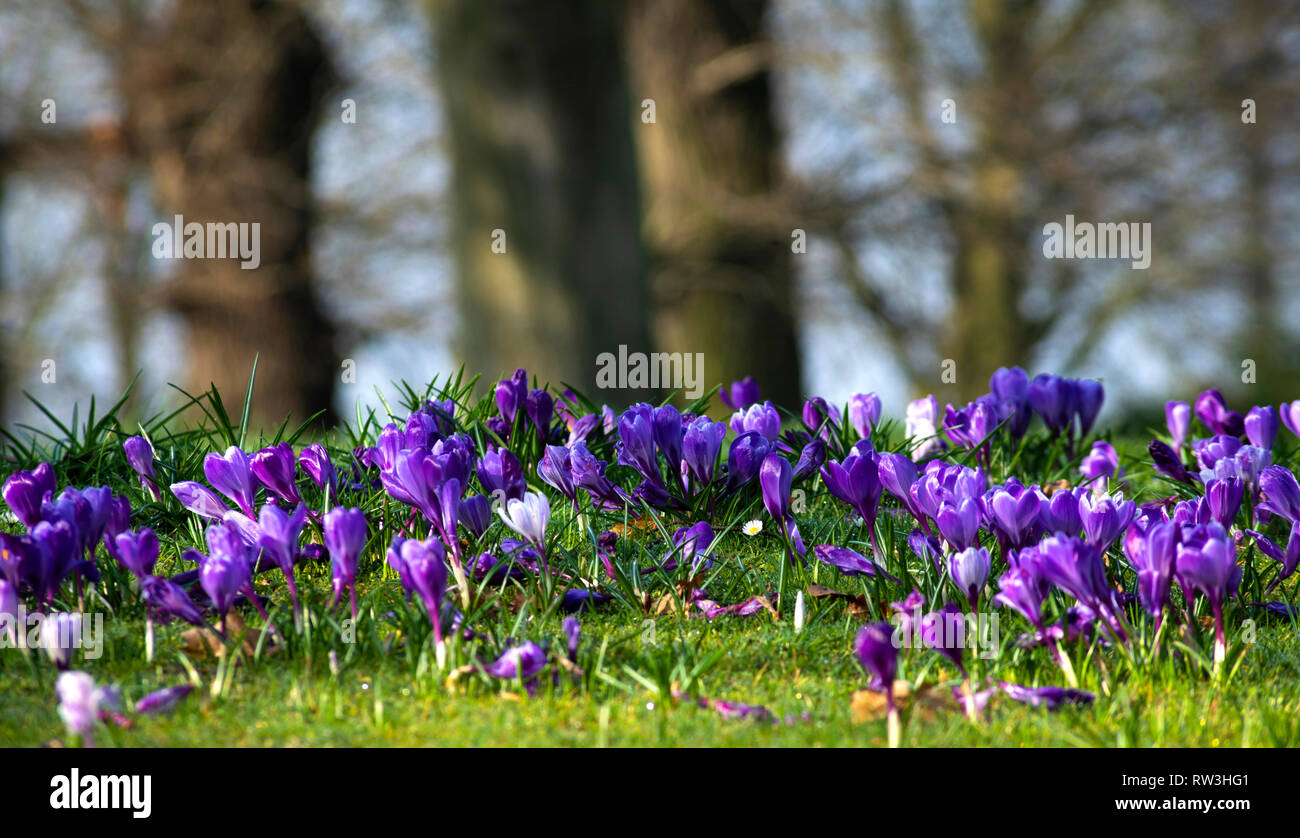 6772acab0a8bf Daffodils And Crocus Stock Photos   Daffodils And Crocus Stock ...